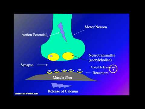Muscle Stimulation by Motor Neuron and Muscle Contraction