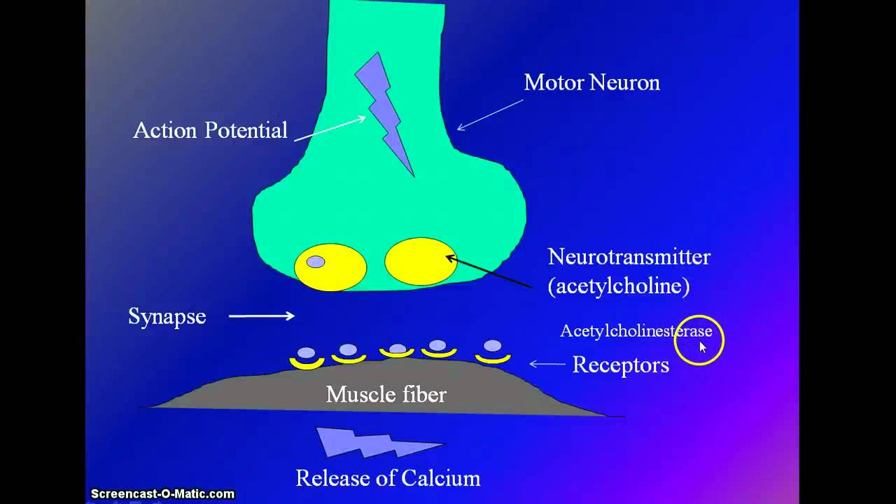muscle stimulation by motor neuron and muscle contraction - youtube, Muscles