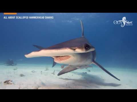 All About Scalloped Hammerhead Sharks
