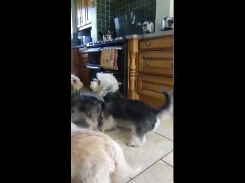 Our Dandie gang sharing...