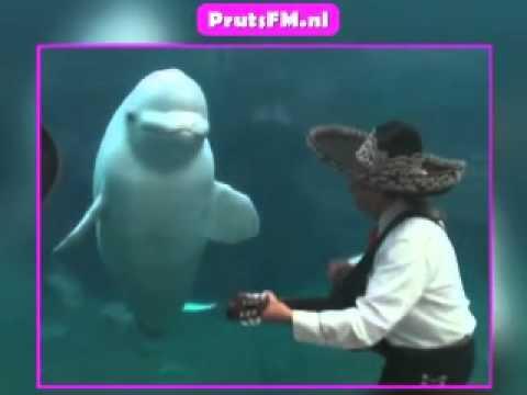 De Beluga Walvis Is Dol Op Mariachi Muziek
