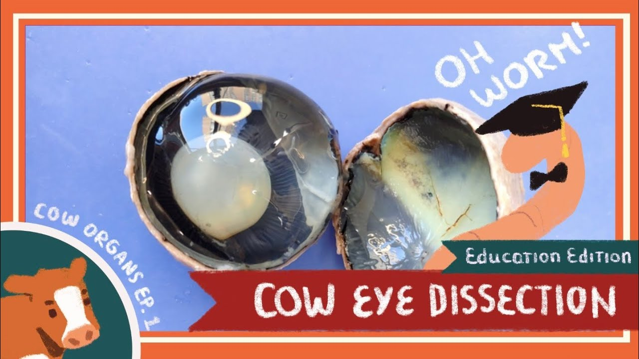 Eye Dissection || The Eyes Have It