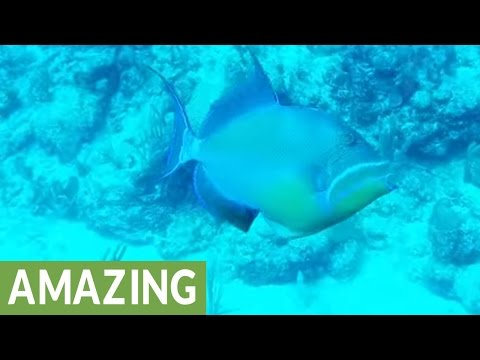 The Amazingly Beautiful Queen Triggerfish