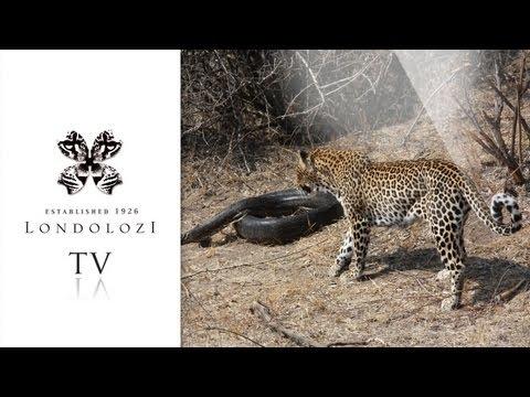 Leopard Attacks Python, nearly gets caught - Londolozi TV