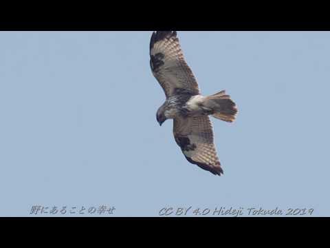 Eastern Buzzard Hovering ノスリ ホバリング 中部の岬 11月上旬 野鳥FHD 空屋根FILMS#1122