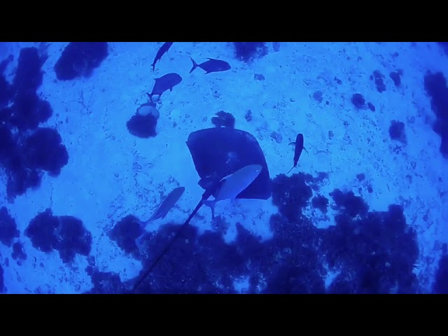 オグロオトメエイの30秒動画 Coral Sea