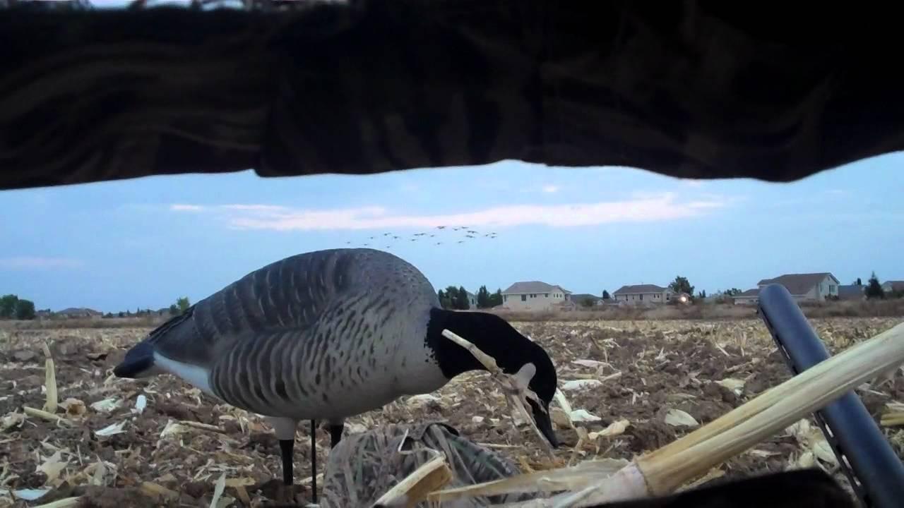 2010 Northern California Canada Goose Hunt Youtube