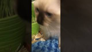 Питомник кошек ПОРОДЫ РЭГДОЛЛ