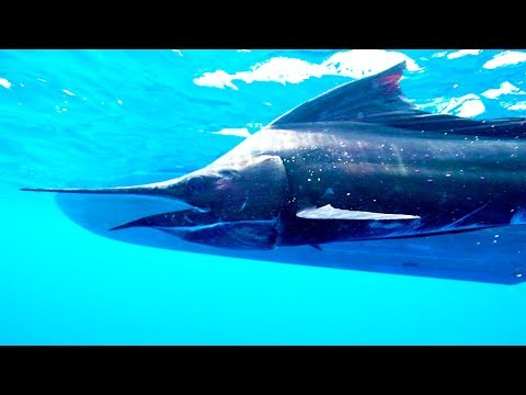 The Sailfish: The Catch Of A Lifetime | The Big Catch | Earth Unplugged