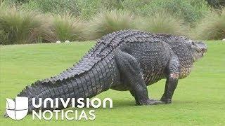 Un caimán gigante se pasea en medio de un campo de golf y deja en shock hasta a los ciervos