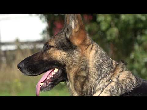 kraftwerk-k9-german-shepherd-dog-with-non-stop-obedience!
