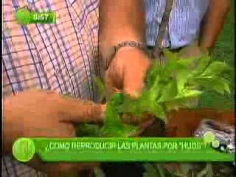 Pasionaria planta reproduccion asexual de las plantas