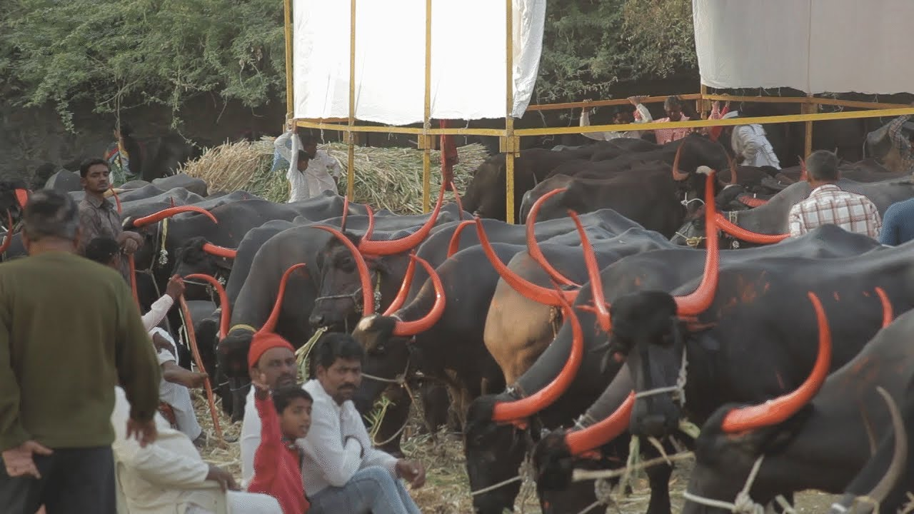 3 5 lac price Pandharpuri Buffallows sales in solapur cattle fair
