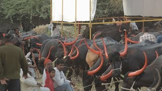 3.5 lac price Pandharpuri Buffallows sales in solapur cattle fair