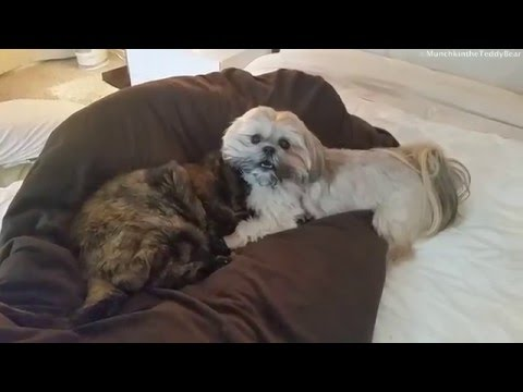 Munchkin & Boo love each other
