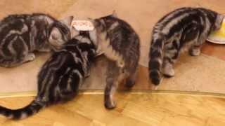 Британские Котята Whiskas