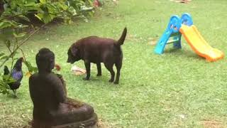 Funny chicken tries steal bone from brown Labrador