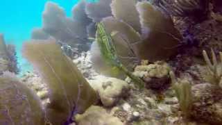Scrawled Cowfish - changing color thumbnail