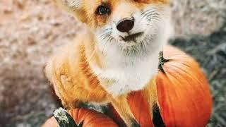 Фото домашних лис ставь лайк 😙