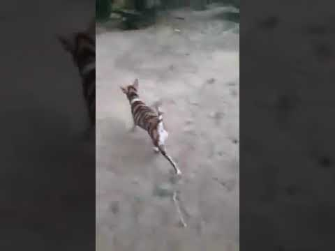 Tigerdog And Zebradog Bonding :D :D :D