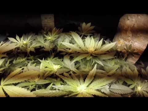Indoor Barneys Farm LSD  Grow