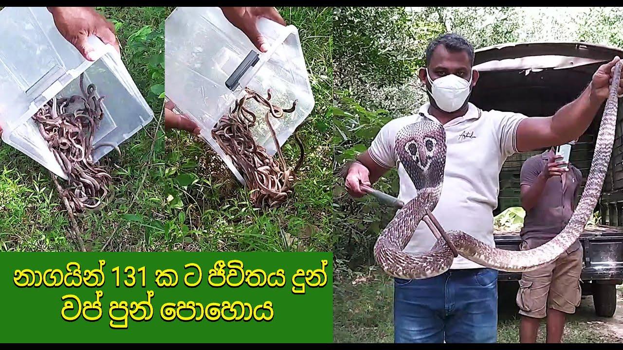 Vap Pun Poya which released 131 cobras