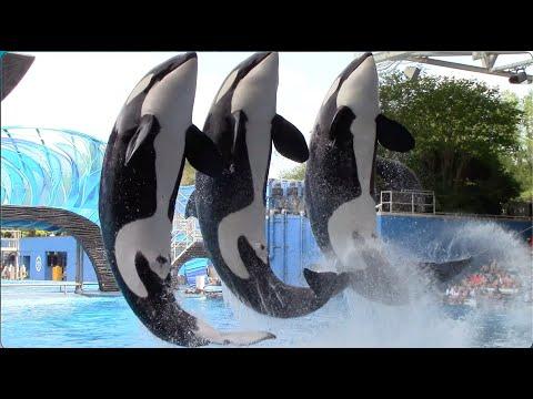 Download Orca Encounter (Full Show) - SeaWorld Orlando - April 8, 2021