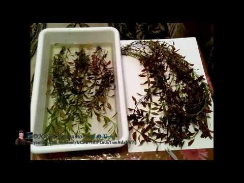 Людвигия Палюстрис, болотная (Ludwigia palustris). Прополка 04.03.16. Аквариумные растения.