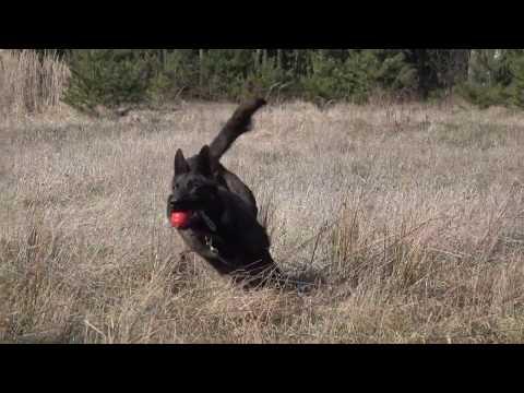 Duzy -  Dutch Shepherd  - Detection