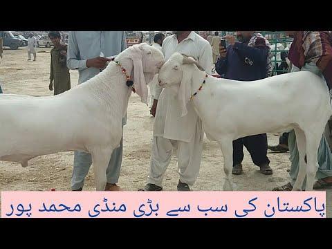[28] goat farming Muhammad pur bakra mandi  visit today 2018-19 Urdu Hindi