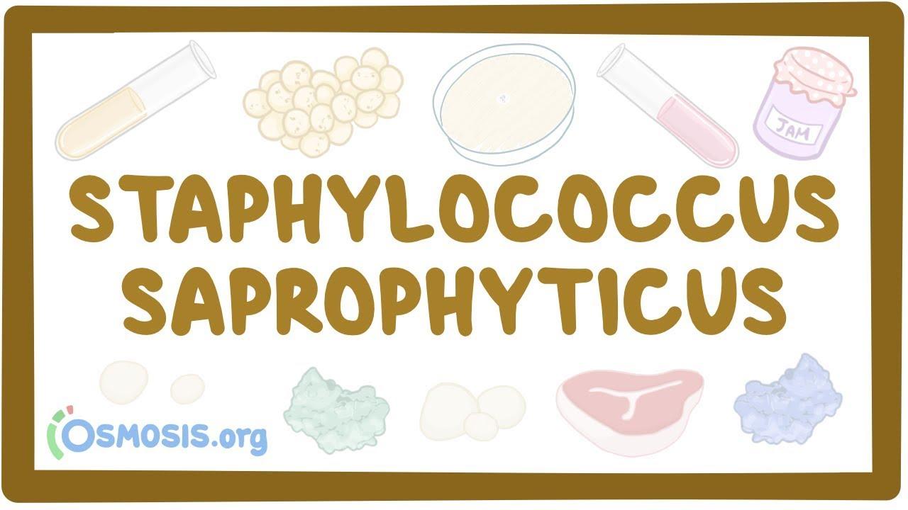 A Staphylococcus spp. férfiakban egy kenetben normális)