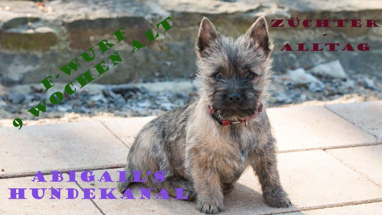 Babys 9 Wochen Alt Auszug Hundekanal Cairn Terrier Youtube