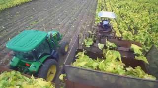 2016 Tobacco Harvest   DEJ Turner Farms