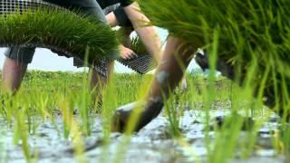ADOGAWA Rice Planting