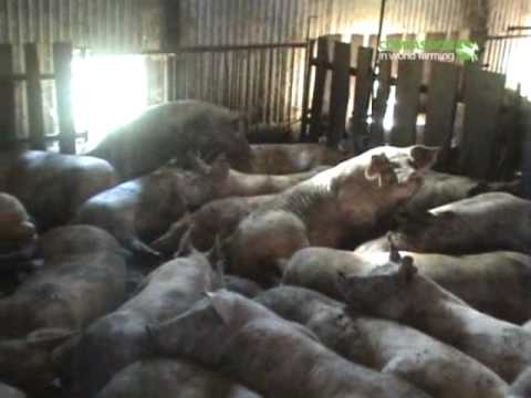 EU pig farm investigation by Compassion in World Farming