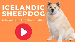 Dogs: Icelandic Sheepdog Breed Information And Personality