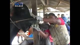 Sapi Kurban Milik Presiden Jokowi   Seputar iNews Sulbar   21-07-2021