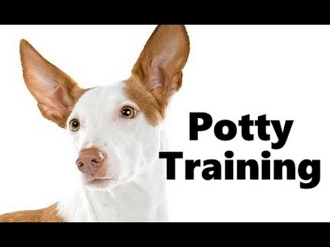 How To Potty Train An Ibizan Hound Puppy - Ibizan Hound House Training Tips - Ibizan Hound Puppies