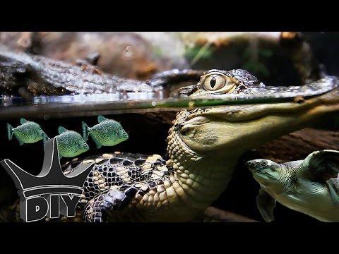 Piranha, African cichlids and Alligators!!!