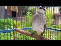 Pancingan Khusus Trucukan Stres Dan Macet Bunyi Di Jamin Moncer  Mp3 - Mp4 Download