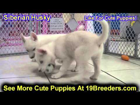 Siberian Husky, Puppies, For, Sale, In, Butte Silver Bow, Montana, MT, Helena, Havre, Kalispell