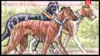 Все породы собак. Уиппет