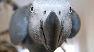 Śmieszne Taniec Papugi