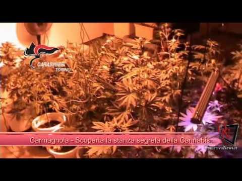 Carmagnola - Scoperta la stanza segreta della Cannabis
