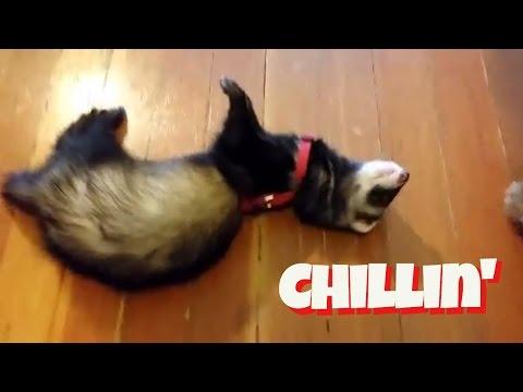 Puppy, Ferrets, And Mozart, Oh My! - Cute Animals Inside 2 - VOL. 16