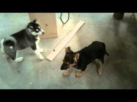 siberian husky vs. german shepard