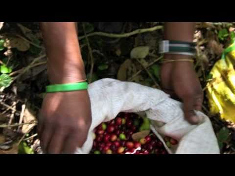 It Starts at the Farm: From a Honduran Coffee Farm to Jittery Joe's