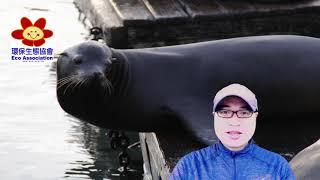 海豚哥哥 Mr Dolphin Thomas 帶你尋找美國西岸既聰明又敏捷的野生海獅