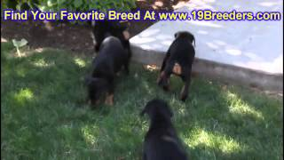Doberman Pinscher, Puppies, For, Sale, In, Philadelphia, Pennsylvania, Pa, Borough, State, Erie, Yor