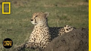 Safari Live - Day 226 | National Geographic